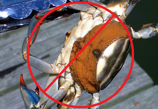 Crab season in delaware autos post for Blue crab fishing