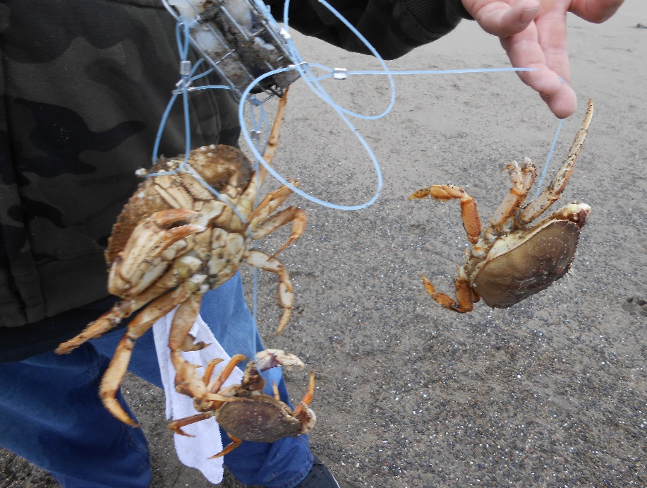 The ultimate guide to crabbing with snares crabbing hq for Fishing pole crab trap